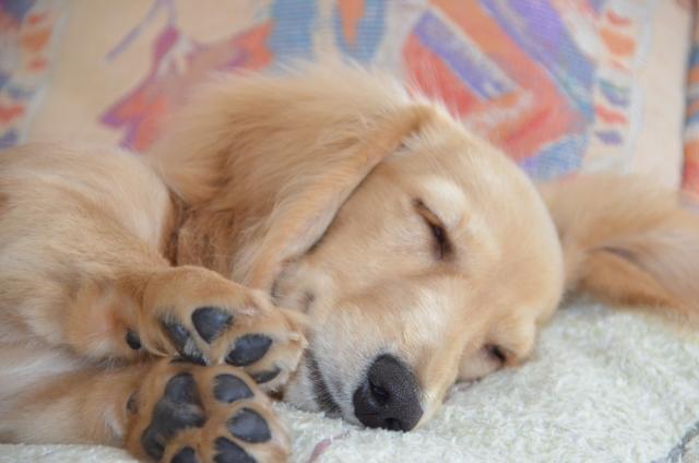 犬の肺水腫とは?症状や原因・治療法を解説