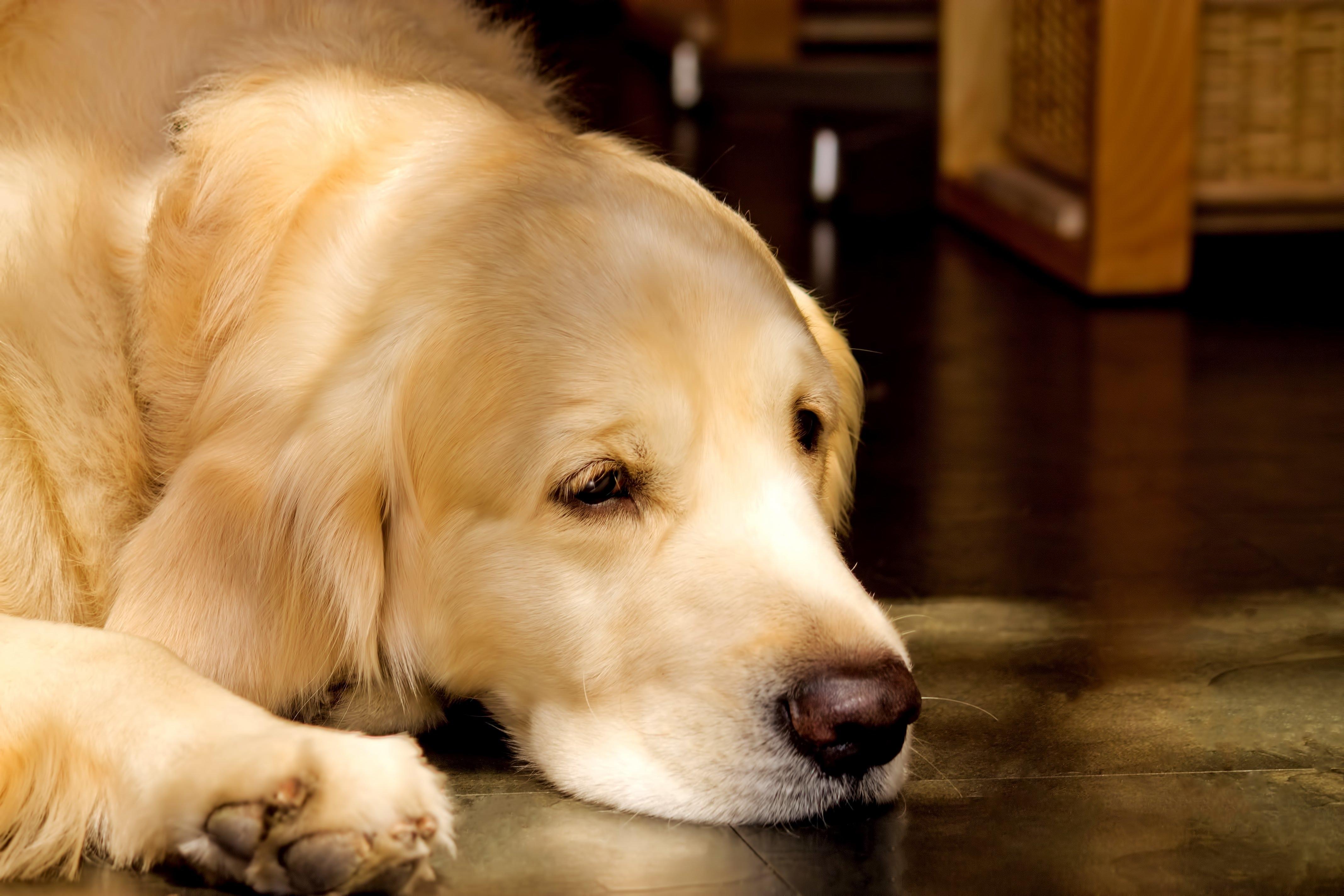 命の危険あり!?犬伝染性肝炎とは?治療から予防まで解説