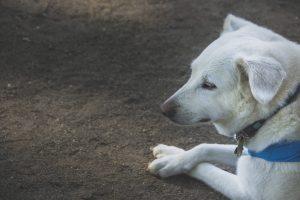 【犬の病】免疫介在性関節炎とは?具体的な治療法をご紹介